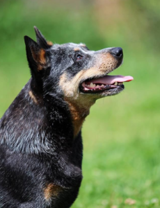 Dog 1 - The Great Cattle Dog Muster Muswellbrook NSW