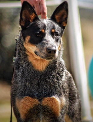 Dog 2 - The Great Cattle Dog Muster Muswellbrook NSW